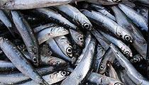 Kleine Fischerakademie der Sardinen