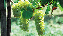 Novi Vinodolski víno